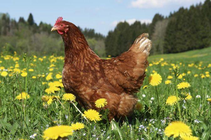 Free Range Chicken vs. Conventional Chicken?